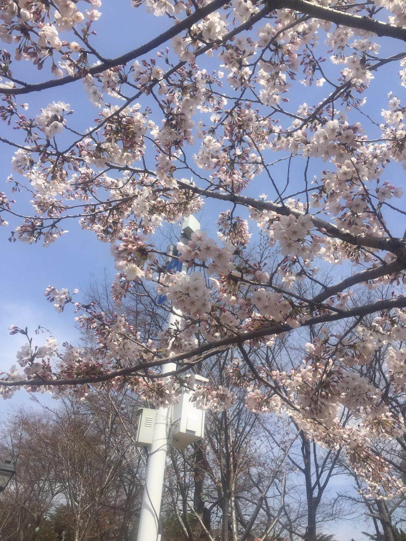 青岛樱花季